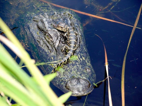 A baby alligator sticks close to its mother. Naturalist
