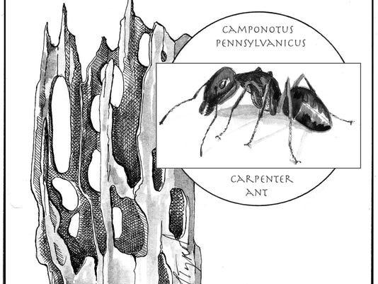 TOS_Carpenter_Ant