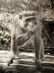 A monkey from the Tropical Wonderland theme park. The monkeys at the park were released into the wild in Titusville after the park shuttered.
