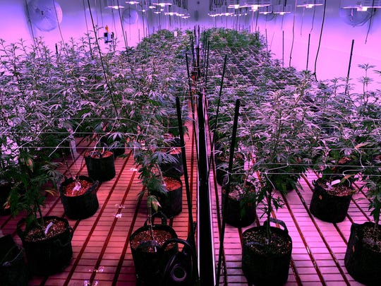 Mature plants are seen in the early flowering phase under LED lights at the Silver State Relief medical marijuana grow facility in Sparks on July 24, 2015.