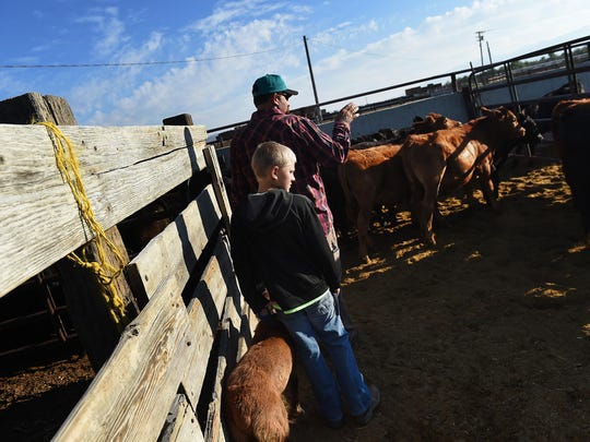 Anthony Maura and his son Devin encourage cattle to head towards the scales to be weighed at the Moura Ranch near Lovelock on Aug. 9, 2015.