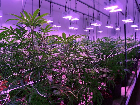 Mature plants flower under LED lights at the Silver State Relief medical marijuana grow facility in Sparks last year.