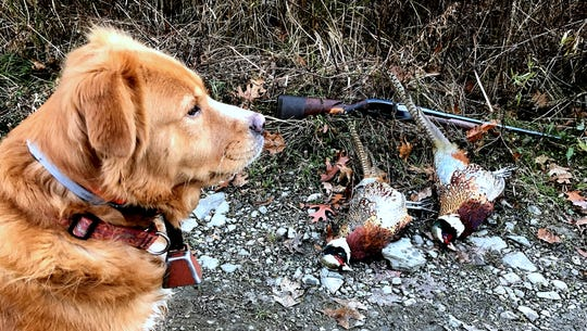 Malibu stands guard over two pheasant roosters she