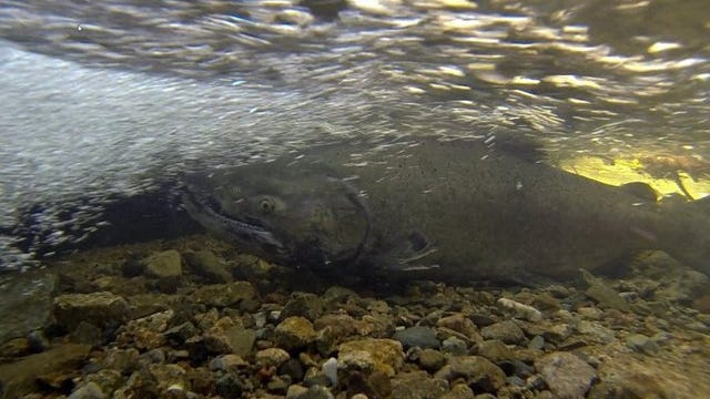 A Chinook salmon rests in a seasonal creek near Swasey Drive in Redding in January 2016.