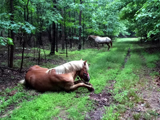 """In this June 28, 2016 photo, horses belonging to Tod """"Doc"""" Mishler are pictured near Clay Pit State Park in the Staten Island borough of New York."""