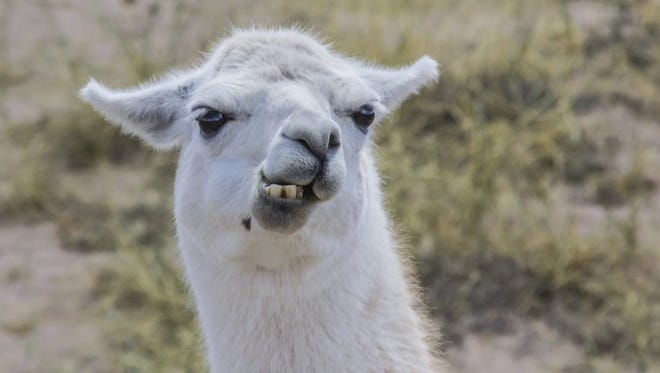 Not this llama but perhaps one like it.