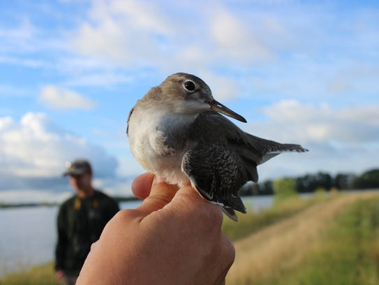 A shorebird moments before being released after having