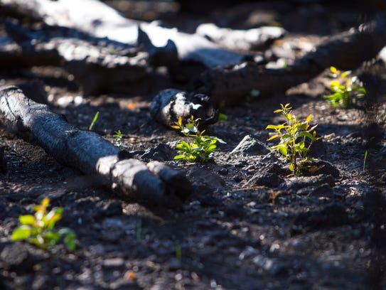 Saplings begin to sprout in the Yankee Meadows area