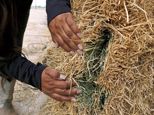 Cherie Bitsuie, alfalfa crop foreman, pulls apart a portion of cow hay to show the green color on Tuesday at Navajo Agricultural Products Industry's Region II Scale in Farmington.