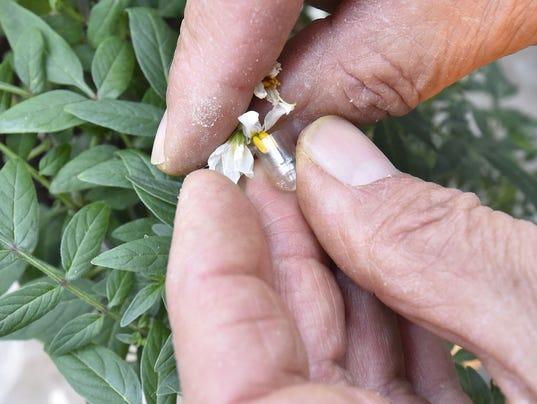 636276175862074944-DCA-0415-potato-gene-bank-2.jpg