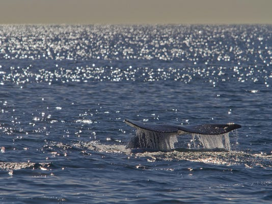 California grey whales