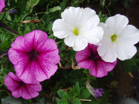 Petunias that look straggly can be rejuvenated by pinching them back.