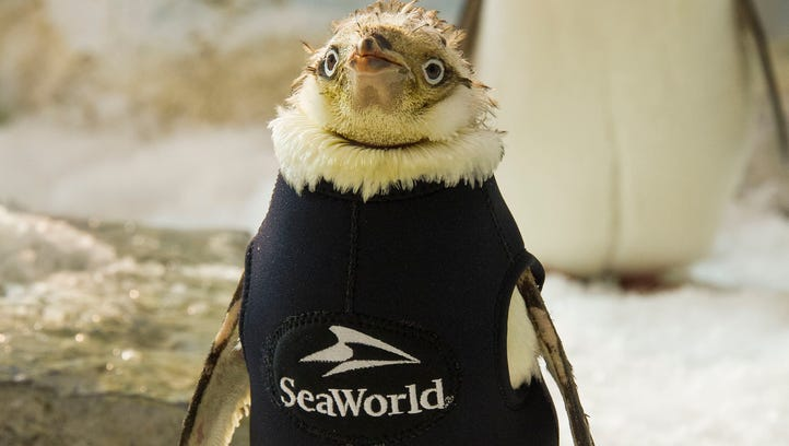 Penguin suffering feather loss gets super cute wetsuit.