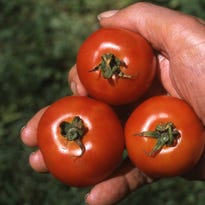 These Burpee Fourth of July tomatoes were the first ripe tomatoes in Richard Poffenbaugh's  garden last summer, on July 30. One plant produces a huge crop of 4-ounce tomatoes throughout the summer.