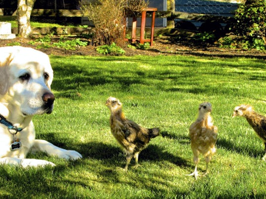 A family dog pulls guard duty for free-ranging chicks in a yard near Langley, Washington. Dogs and cats are grazers. An organically managed lawn like this one is better for their health.