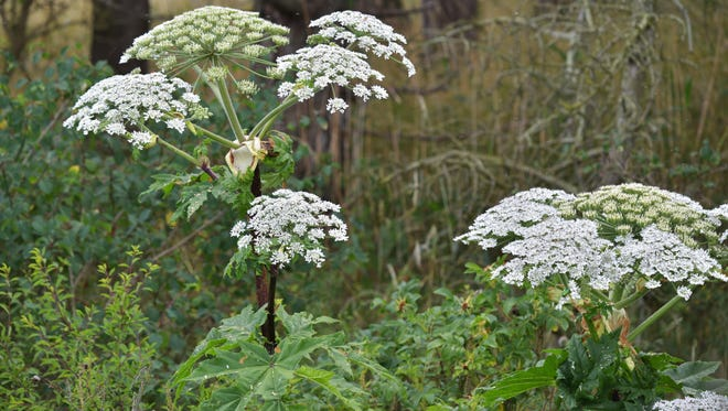 Giant hogweed plants are 6-foot-tall weeds with thousands of white petals clustered on flower heads the size of a dinner plate. The plants can cause severe skin and eye burns, painful blistering, permanent scarring and blindness.