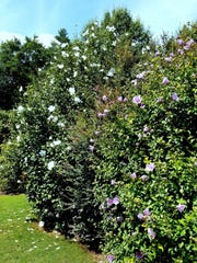 "The ""Chiffon"" series of rose of sharon has a large,"