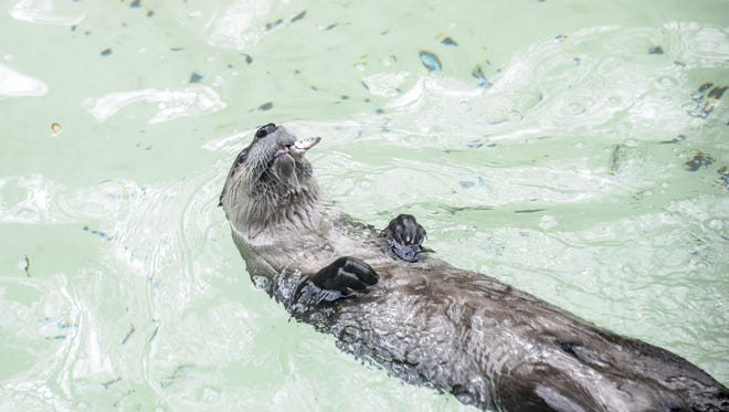 Leroy, a North American river otter, swims in his enclosure at the Binghamton Zoo.