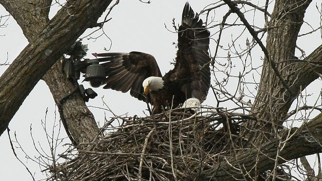 The eagles made famous by livestreaming are now busy with three hatchlings in their nest just south of Decorah.