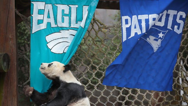 Le Le, one of the Memphis Zoo's giant pandas picks the Eagles to win Super Bowl LII Thursday morning tearing down the Eagles flag promptly after being released into his outdoor habitat. What could this mean? Do Panda's love underdogs, do pandas love Philly cheesesteak, or do pandas just hate NFL team banners.