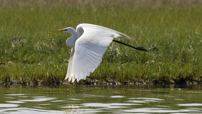 An egret takes flight near the Sedge Islands in Barnegat Bay in this 2010 file photo.