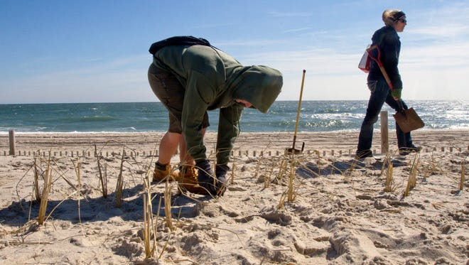 Volunteers plant a record 40,000 beachgrass plants on the oceanfront in Island Beach State Park on Saturday March 26, 2016.
