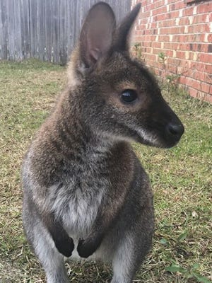 Jeff the wallaby