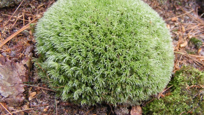 True mosses, including the pincushion moss, are little round masses of soft green scattered throughout the forest on the soil and on rocks and rotting logs.