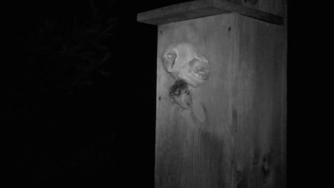 This screech owl peeks out of the wood duck house he took up residence in on the Larry and Amy Hochkammer property in the Town of Newton. The owl has a field mouse in its beek that I am sure turned out to be his lunch.