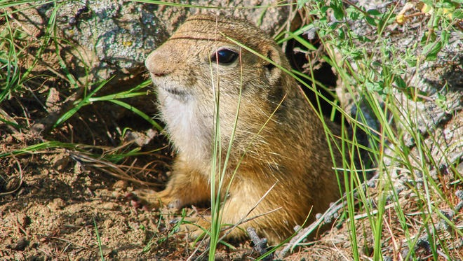 The large gopher gets out of a hole - a photo 3