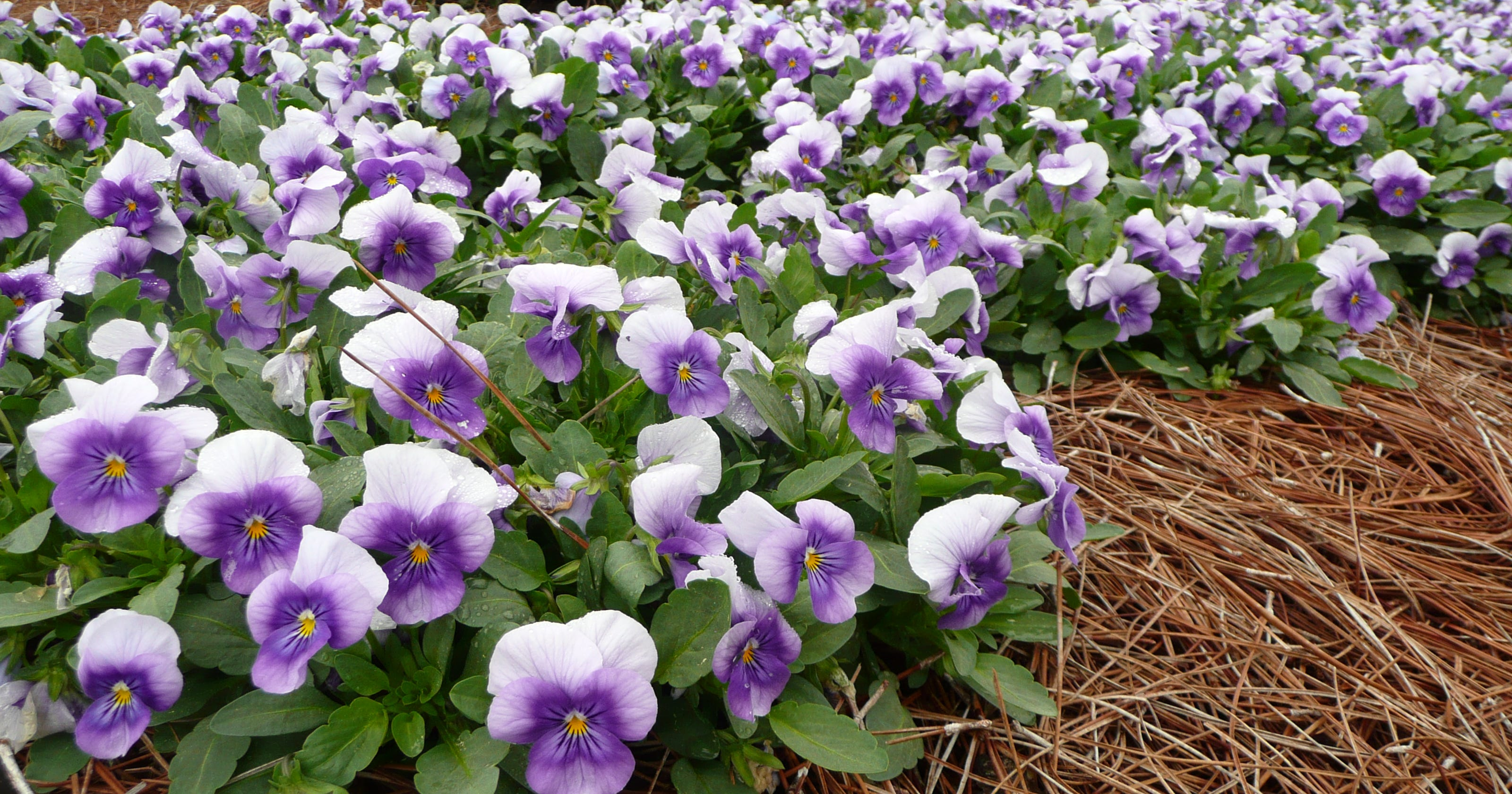 Perfect winter annuals pansies and violas are hardy in east tn chill izmirmasajfo