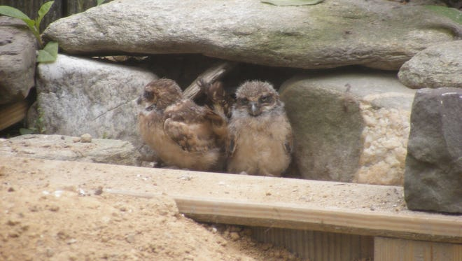 This submitted photo from the Salisbury Zoo in Salisbury, Md., shows two burrowing owl hatchlings born recently. Zoo officials believe the mother hatched about six eggs. The hatchlings were first spotted on Saturday, June 10, 2017.