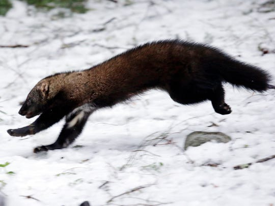 A Pacific fisher takes off running after being released into a forest at Mount Rainier National Park.