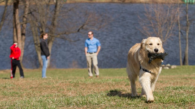 Scout, an 11-month-old golden retriever, finds a piece of trash and runs free through Carousel Park's bark park.