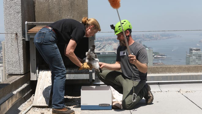 Kathy Clark, Biologist with the NJ Div. of Fish and Wildlife and the Endangered Species Program, removes a peregrine falcon chick from its nest and into a box, as Ben Wurst, Habitat Program Manager, with Conserve Wildlife Foundation of NJ, holds a feather duster, incase one of the adult falcons returns to the nest, 41 stories above Jersey City.  Three chicks were removed for approximately 35 minutes for banding. Tuesday, May 29, 2018