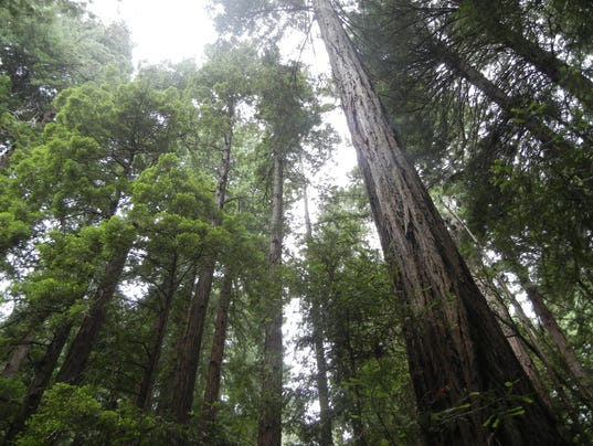 The-Canopy-of-Trees-in-Muir-Woods.JPG