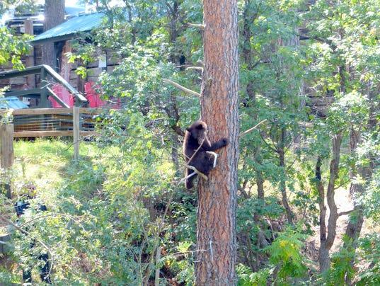bear cub climbs tree