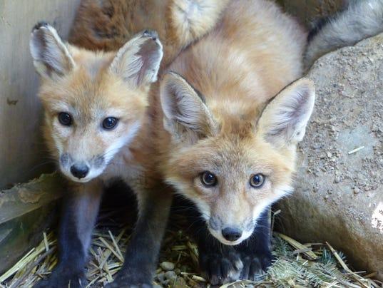 636404762715188186-fox1.JPG