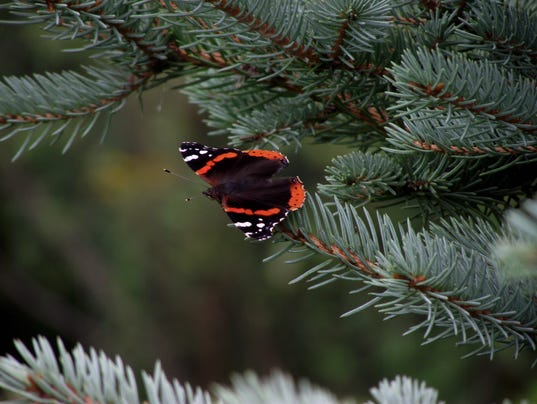 Gardening questions pruning blue spruce ornamental grass gardening questions workwithnaturefo
