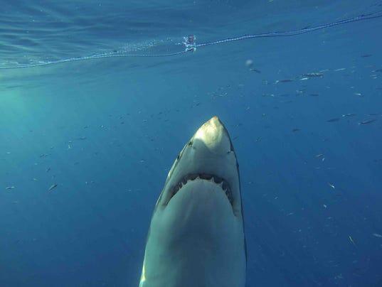 Evidence points to great white shark nursery off n j for Shark fishing nj