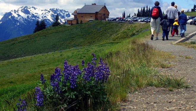 Lupine grows along the walk to Hurricane Ridge Visitor Center.