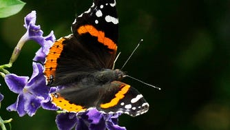 A ed admiral butterfly feeds on a duranta flower Sunday, April 26, 2015, in Houston. A mild winter and plenty of rain have resulted in a verdant and flower-filled spring. (AP Photo/Pat Sullivan) ORG XMIT: TXPS102