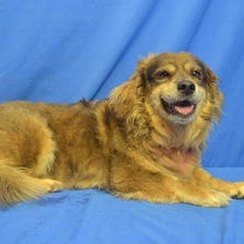 AUG. 27 – Moey is a 9-year-old Border Collie/Lhasa Apso mix available for adoption through the APA of Missouri.