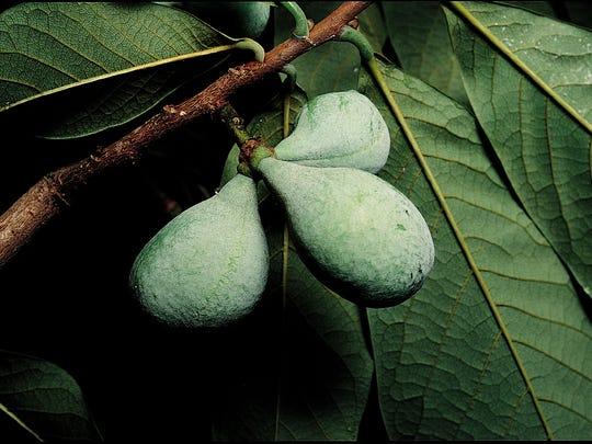 Pawpaw fruit on a Missouri tree.