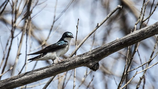 A tree swallow at Belle Isle Park in Detroit on Wednesday, April 15, 2015.