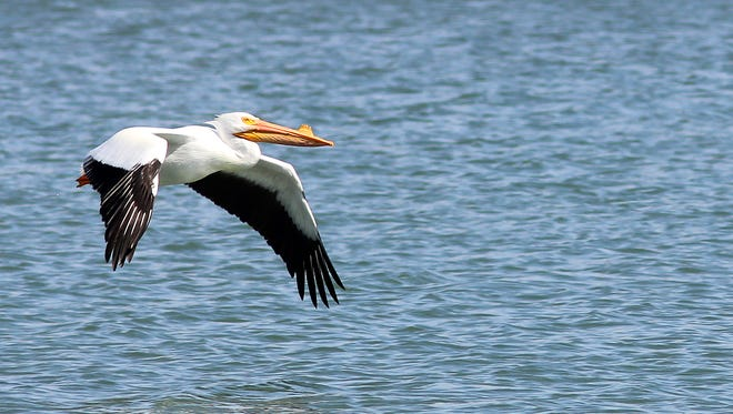 With a wing span that can exceed 9 feet in length, white pelicans are the largest bird to migrate through the Ozarks.