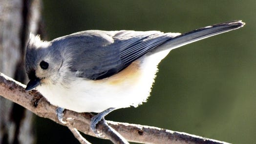 This year's plant sale at the Native Plant Center focuses on plants beneficial to titmice and other birds.