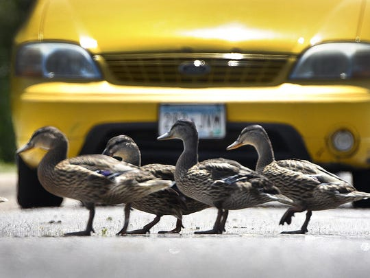 Mallards walk Wednesday across Fifth Avenue North near the Mississippi River in St. Cloud. Spring aerial surveys show the state's Mallard population down 20 percent, but many other species of ducks are above previous year's results.