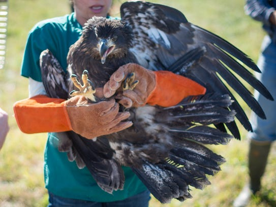 Wildlife officials prepare to release a rehabilitated