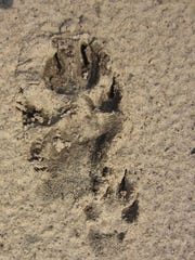 Wolf and pup tracks found by Steve Meurett.